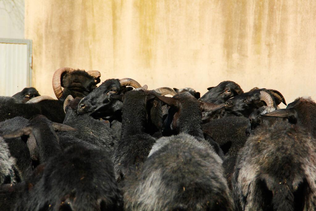 Auf der Suche nach dem Beeehsonderen fand ich die schwarzen Schafe von Arbus