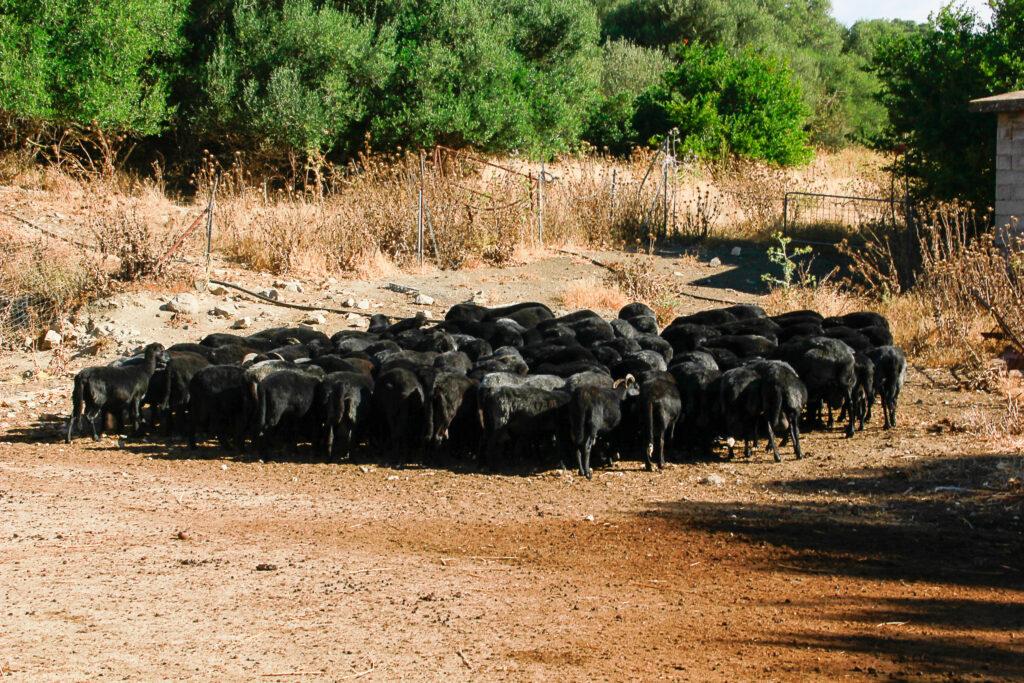 Eine ganze Herde Schafsglück!