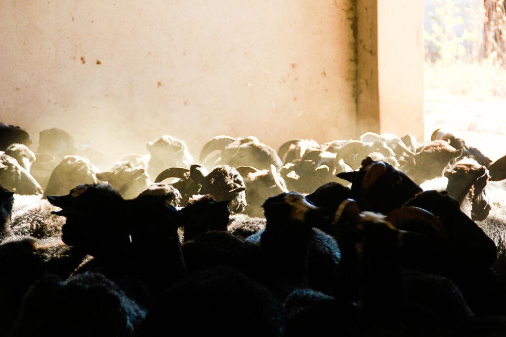 Stampede!!! Alle schwarzen Schafe zum Melken, bitte!