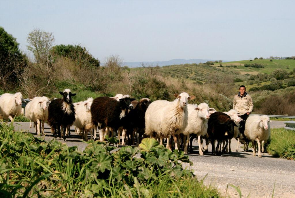 Schafe und ihr junger Hirte auf einer Provinzstraße bei Escolca